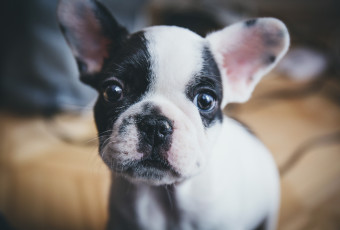 Cute Little French Bulldog